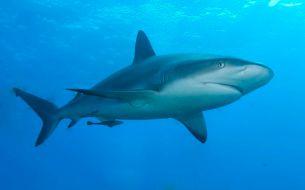 caribbean_reef_shark_wikimediacommons_albertkok
